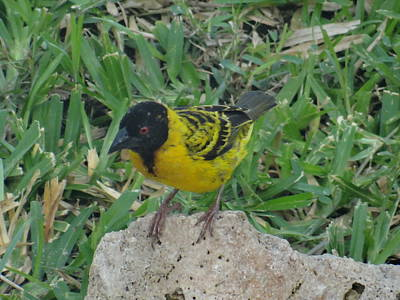 Exploramum Photograph - North - Eastern African Home - Close Up Yellow And Black Bird by Exploramum Exploramum