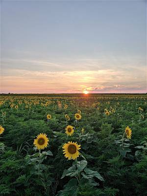 Photograph - North Fork Sunflowers 1 by Rob Hans