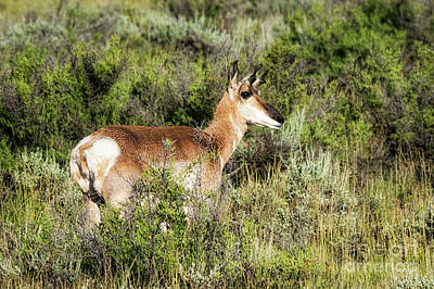 Arapaho National Wildlife Refuge Photograph - North Park Pronghorn by Priscilla Burgers