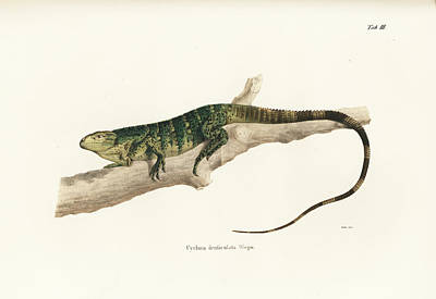 Iguana Drawing - Northeastern Spiny-tailed Iguana, Ctenosaura Acanthura by Carl Wilhelm Pohlke