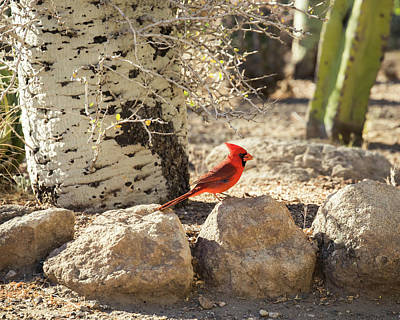Photograph - Northern Cardinal In The Desert-img_714918 by Rosemary Woods-Desert Rose Images