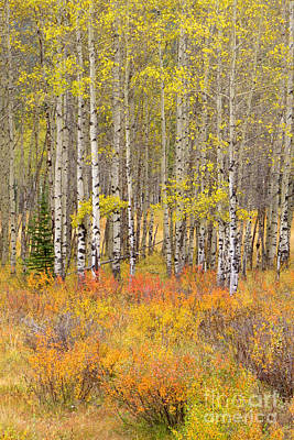 Photograph - Northern Aspens by Frank Townsley