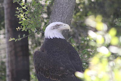 Photograph - Northern Bald Eagle by Diana Chase