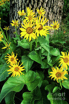 Photograph - Northern Balsamroot Wildflower Balsamorhiza Deltiodes  by Dave Welling
