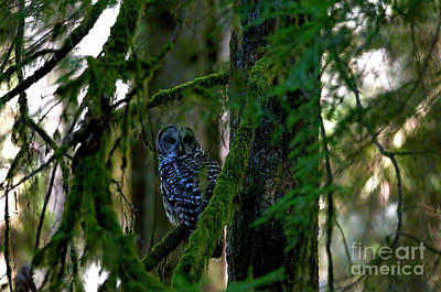 Photograph - Northern Barred Owl In The Woods by Sharon Talson