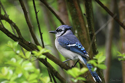 Photograph - Northern Blue Jay by Trina Ansel