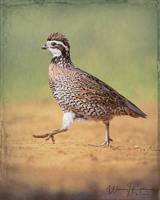 Photograph - Northern Bobwhite - 6122,st by Wally Hampton