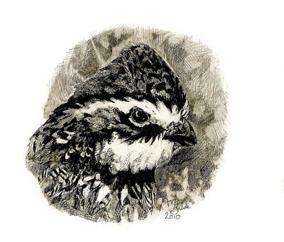 Drawing - Northern Bobwhite by Abby McBride