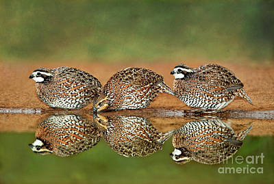 Photograph - Northern Bobwhites Birds Colinus Virginianus Wild Hida by Dave Welling