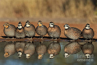 Photograph - Northern Bobwhites Colinus Virginianus Wild Texas by Dave Welling