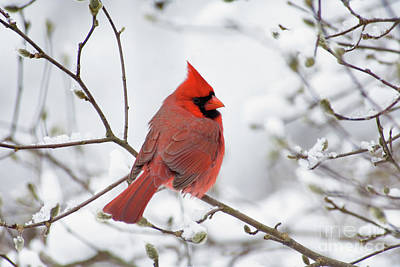 Indiana Winters Photograph - Northern Cardinal - D001540 by Daniel Dempster