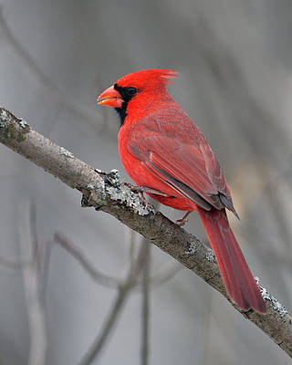 Photograph - Northern Cardinal 1 by Timothy McIntyre