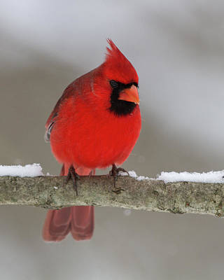 Photograph - Northern Cardinal 2 by Timothy McIntyre