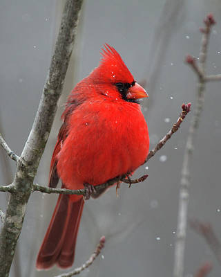 Photograph - Northern Cardinal 3 by Timothy McIntyre