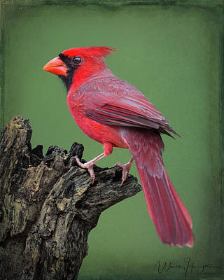 Photograph - Northern Cardinal - 5901-b,st by Wally Hampton