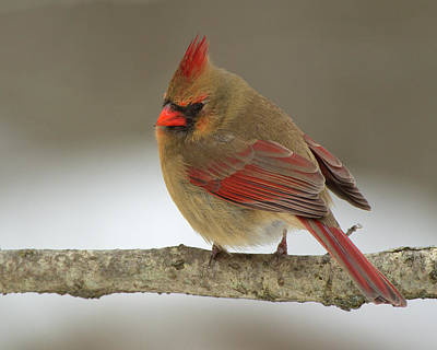 Photograph - Northern Cardinal 7 by Timothy McIntyre