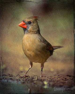 Photograph - Northern Cardinal - 7192,st by Wally Hampton