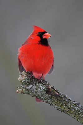 Photograph - Northern Cardinal 9 by Timothy McIntyre