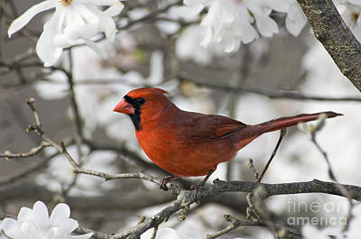 Northern Cardinal And Magnolia 3 - D009896 Print by Daniel Dempster