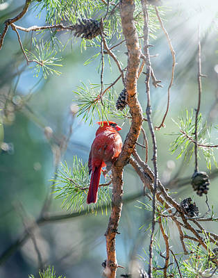 Photograph - Northern Cardinal Basking In The Sunlight In A Pine Tree During  by Patrick Wolf