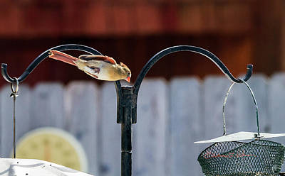 Photograph - Northern Cardinal Dive by Edward Peterson
