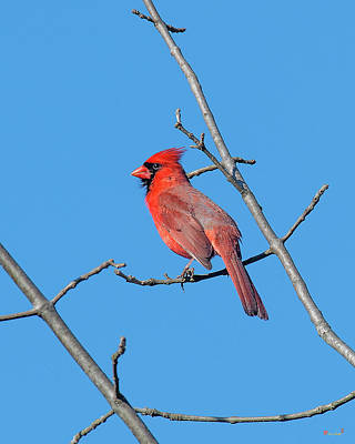 Photograph - Northern Cardinal Dsb0272 by Gerry Gantt