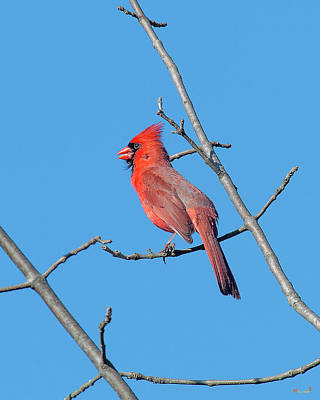 Photograph - Northern Cardinal Dsb0273 by Gerry Gantt