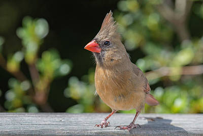 Wall Art - Photograph - Northern Cardinal, Female by Phil Thach