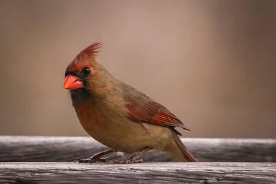 Photograph - Northern Cardinal Female Winter by Terry DeLuco