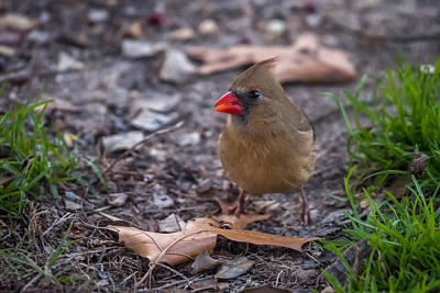 Photograph - Northern Cardinal Female With Leaves by Terry DeLuco