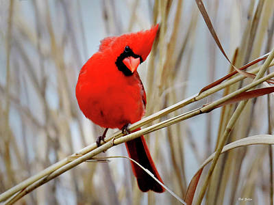 Photograph - Northern Cardinal In Reeds by Bob Zeller