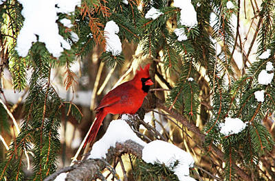 Photograph - Northern Cardinal In Winter by Debbie Oppermann