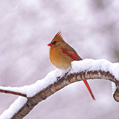 Photograph - Northern Cardinal In Winter by Ken Stampfer
