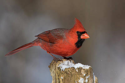 Art Print featuring the photograph Northern Cardinal In Winter by Mircea Costina Photography