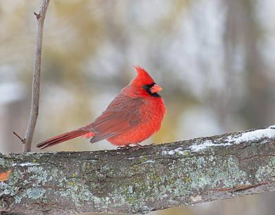 Photograph - Northern Cardinal by Jim Zablotny
