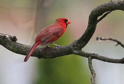 Photograph - Northern Cardinal by Living Color Photography Lorraine Lynch