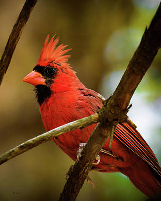 Photograph - Northern Cardinal  Male by Bob Orsillo