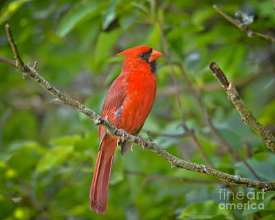 Photograph - Northern Cardinal - Male by Kerri Farley