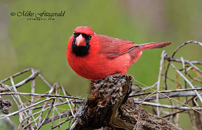 Photograph - Northern Cardinal by Mike Fitzgerald