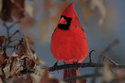 Northern Cardinal Art Print by Mike Martin