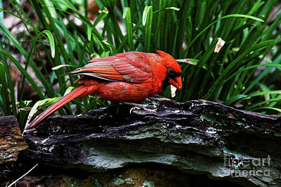 Photograph - Northern Cardinal by Paul Mashburn