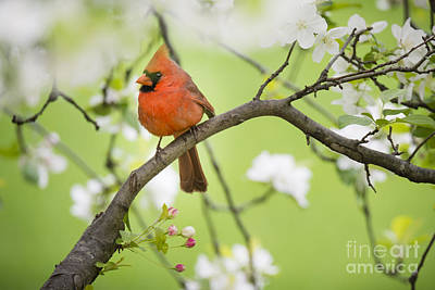 Idyllic Photograph - Northern Cardinal Perched In Springtime Apple Tree by Oscar Gutierrez