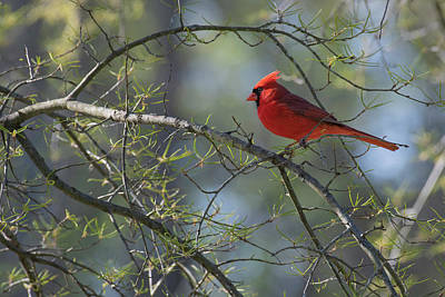 Wall Art - Photograph - Northern Cardinal by Phil Thach