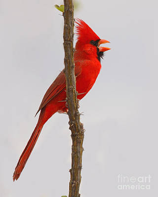 Cardinals. Wildlife. Nature Photograph - Northern Cardinal Proclaiming Spring Territory by Max Allen