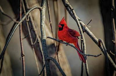 Photograph - Northern Cardinal by Ray Congrove