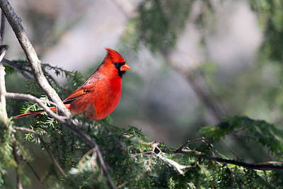 Northern Cardinal Red Art Print