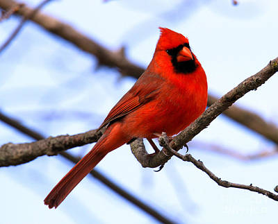 Photograph - Northern Cardinal by Roger Becker