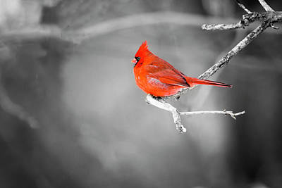 Photograph - Northern Cardinal Selective Colour by Gary Hall