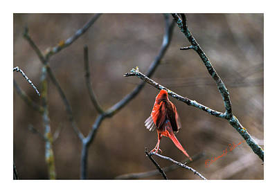 Photograph - Northern Cardinal Taking Flight by Edward Peterson
