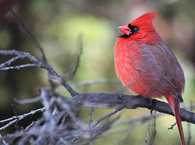 Photograph - Northern Cardinal by Trina Ansel